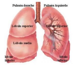 estructura-del-pulmon